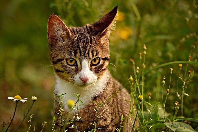 gato-atigrado-caballa