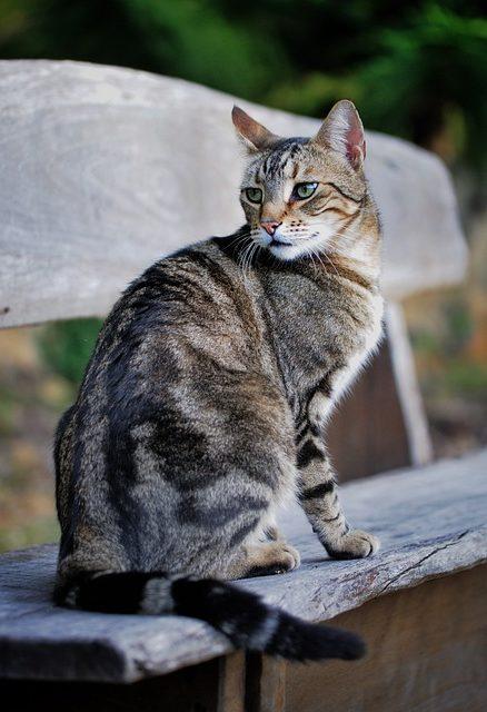 gato-atigrado-clasico
