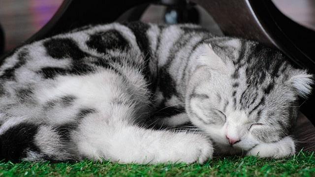 gato-atigrado-marmoleado