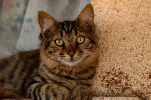 gato-atigrado-precio