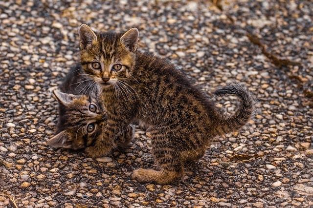 gato-atigrado-manchado