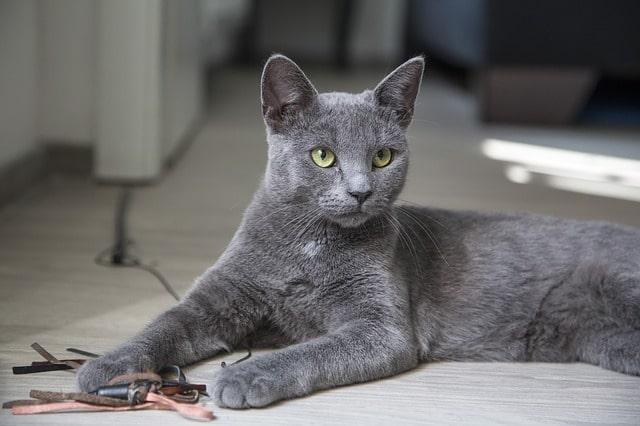 gato-azul-ruso-gris
