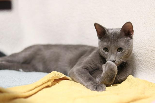 gato-azul