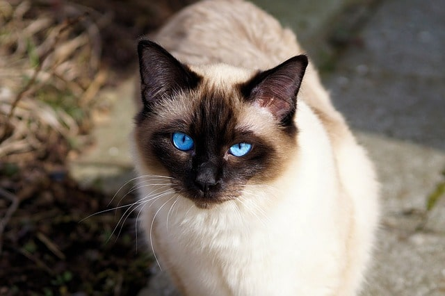 gato-balines