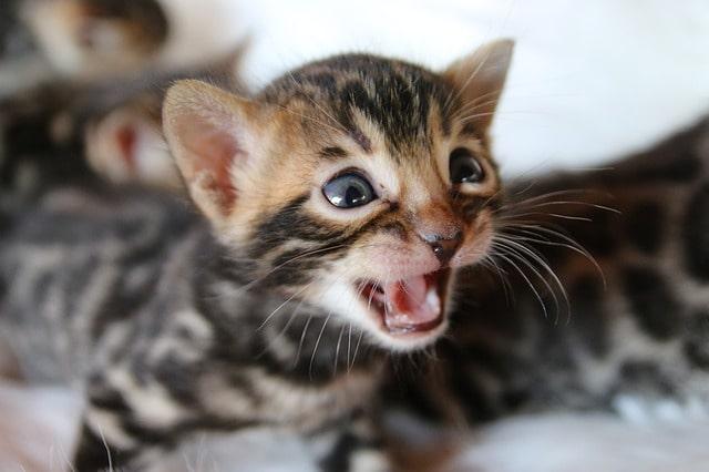 gato-bengali-bebe