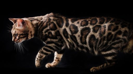 gato-bengali-raza