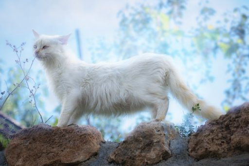 gato-blanco-o-albino