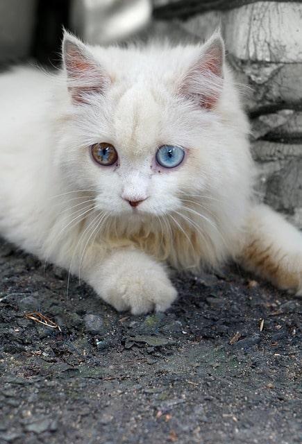 gato-blanco-ojos-azules-significado