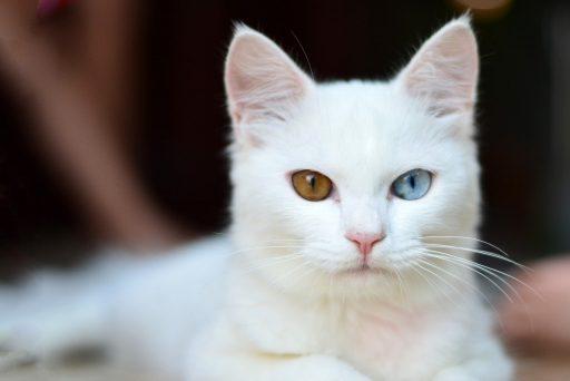 gato-blanco-ojos-bicolor