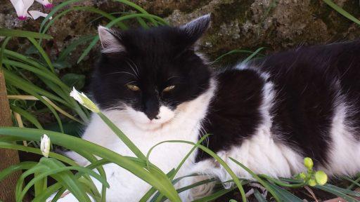 gato-blanco-y-negro-pelo-largo