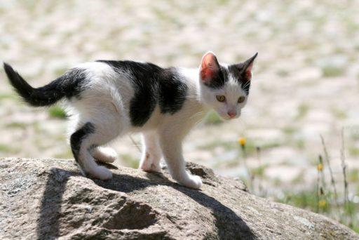 gato-blanco-y-negro-raza