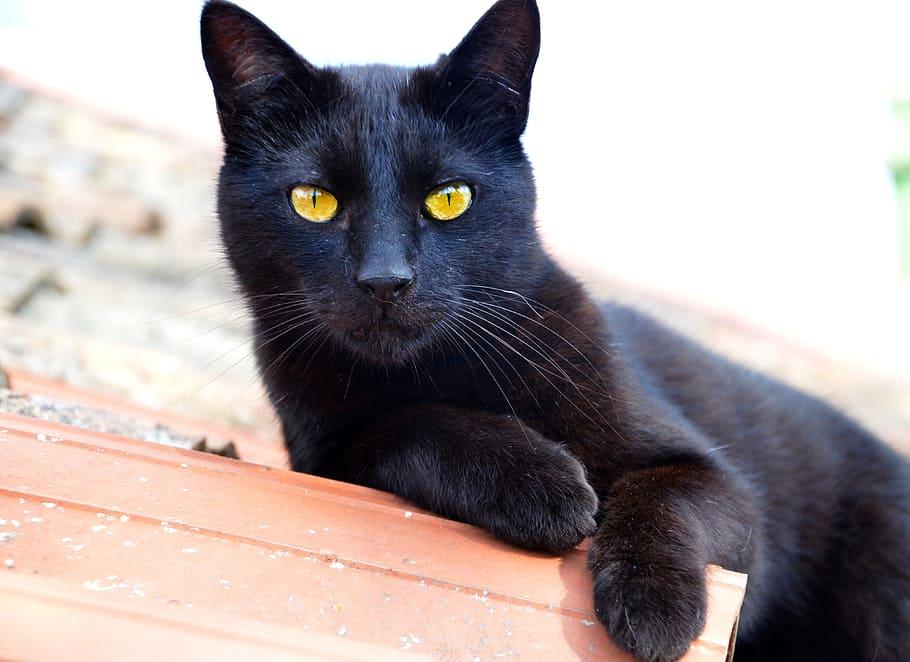gato-bombay-negro