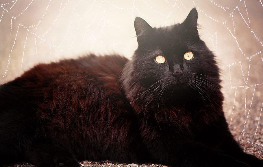 gato-bombay-precio