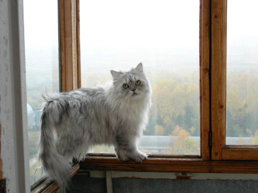 gato-bosque-de-noruega-blanco