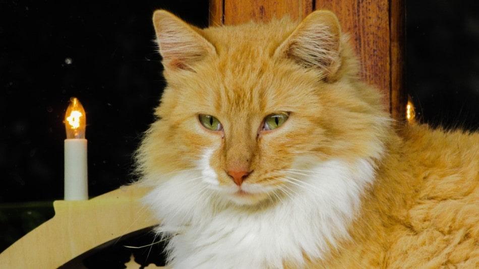 gato-bosque-de-noruega-naranja