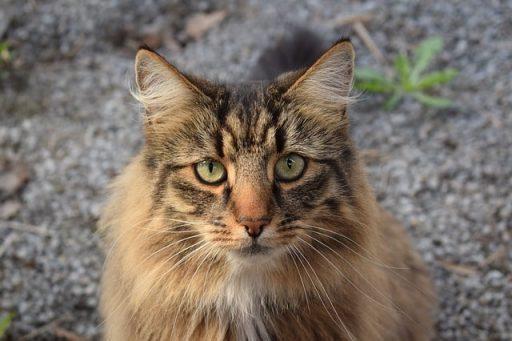 gato-bosque-de-noruega-peso