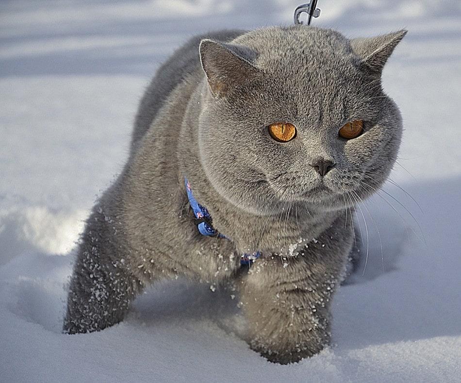 gato-britanico-pelo-corto