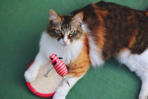 gato-calico