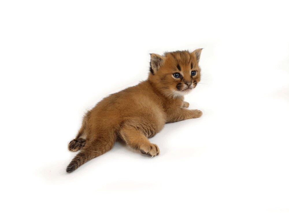 gato-caracal-precio