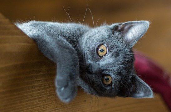 gato-cartujo-bebe