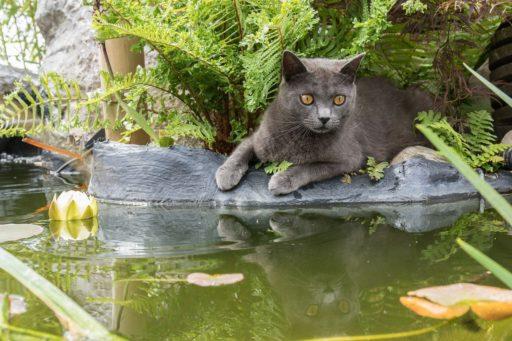 gato-cartujo-hembra