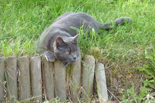 gato-cartujo-o-chartreux