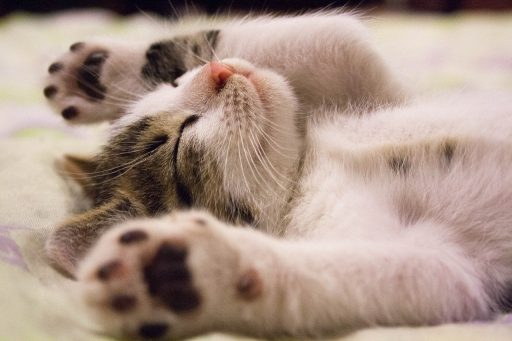 gato-castrado
