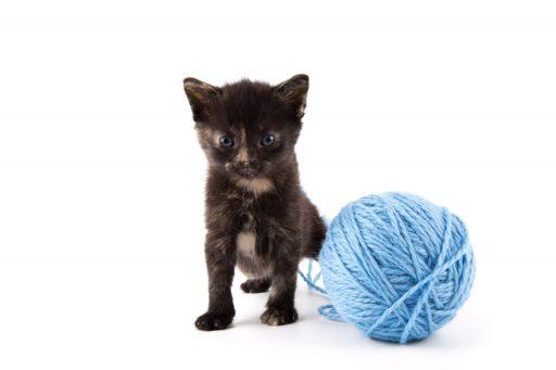 gato-color-negro-con-manchas-blancas