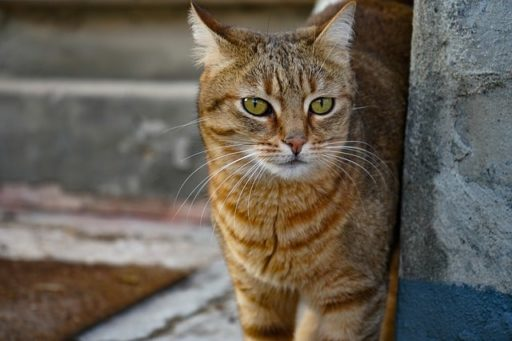 gato-comun-europeo