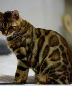 gato-como-leopardo