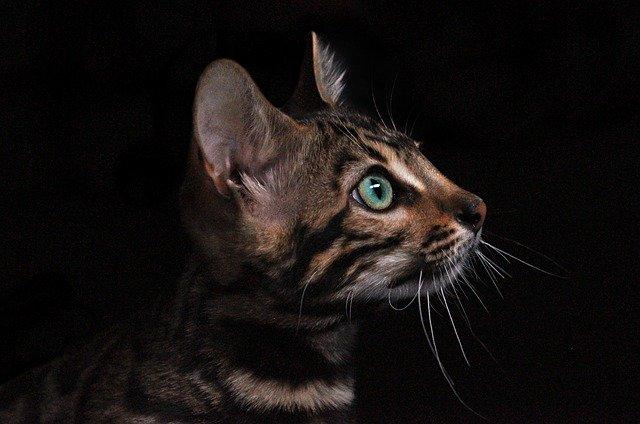 gato-como-tigre