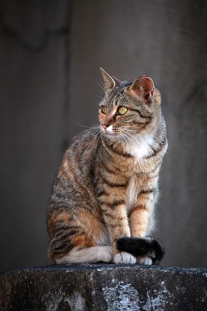 gato-comun-atigrado