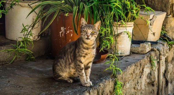 gato-comun