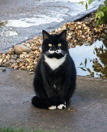gato-comun-europeo-blanco-y-negro