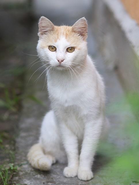 gato-comun-europeo-blanco