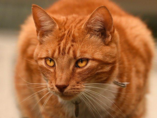 gato-comun-europeo-naranja