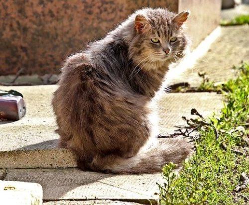 gato-comun-europeo-pelo-largo