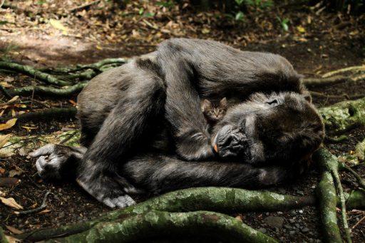 cuantos-años-vive-un-gorila