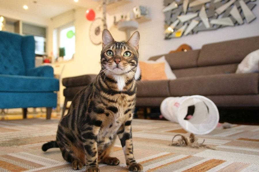 gato-con-leopardo