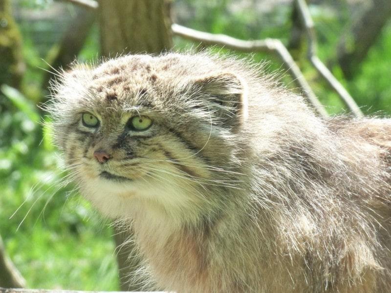 gato-de-pallas-reproduccion