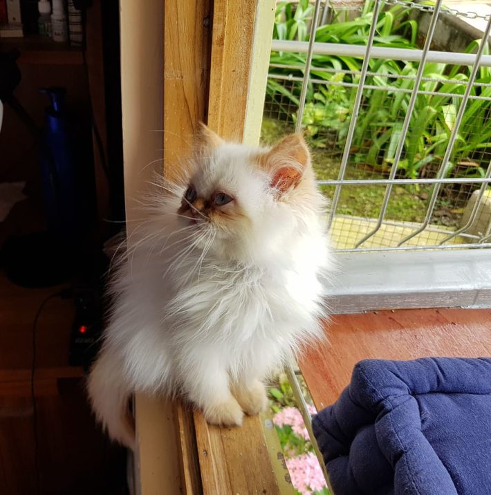 gato-del-himalaya-bebe