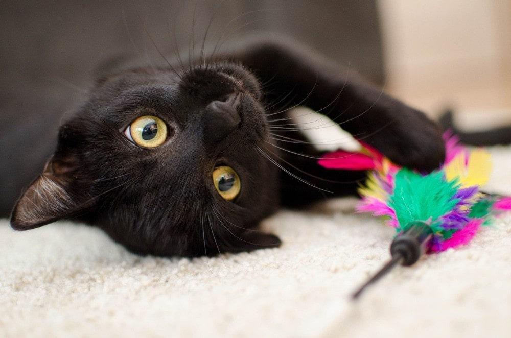 gato-domestico-color-negro