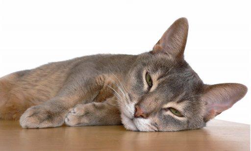 gato-egipcio-abisinio