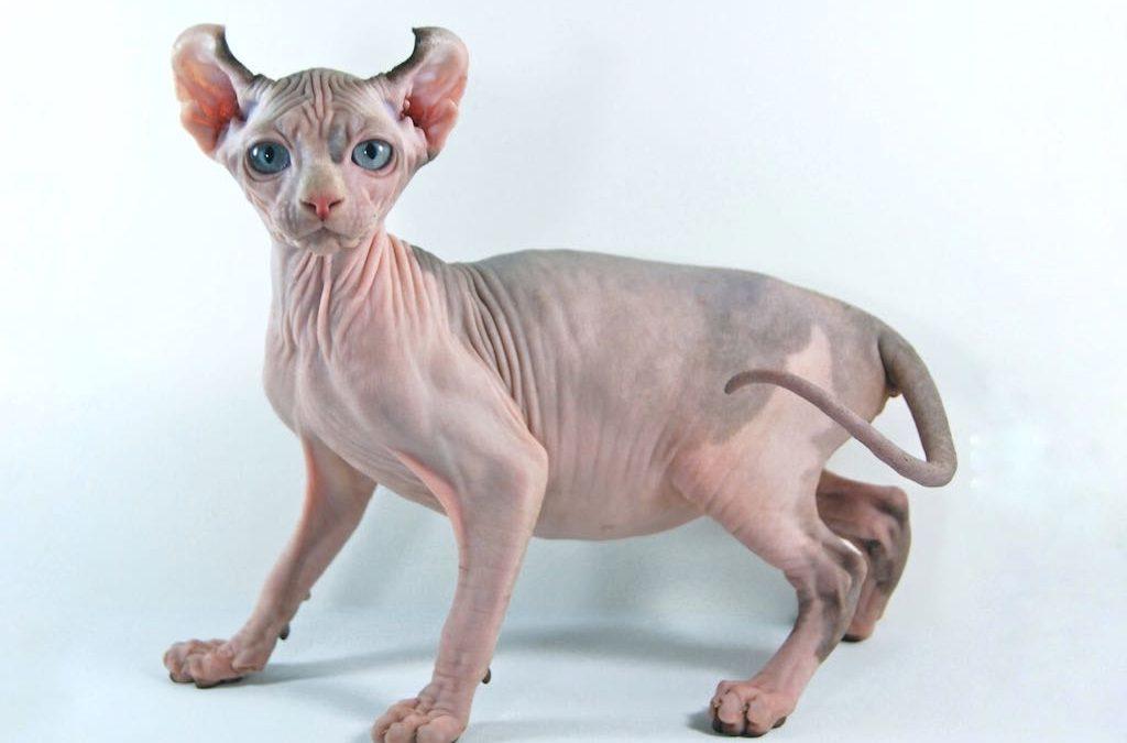 gato-elfo-sin-pelo