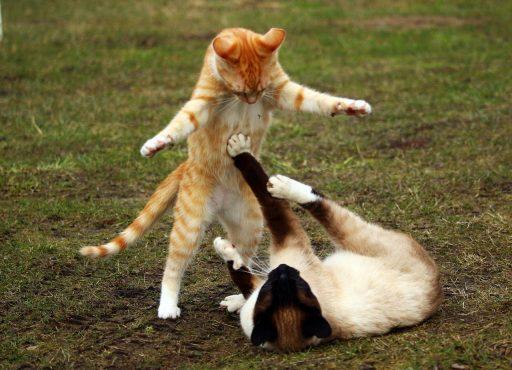 gato-en-celo-agresivo
