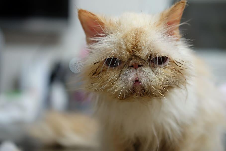 gato-exotico-cuidados