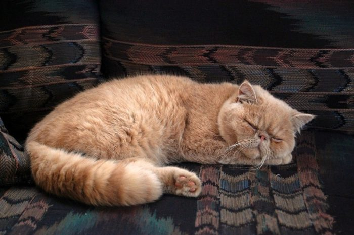 gato-exotico-naranja