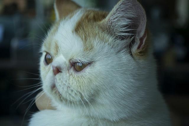 gato-exotico-precio