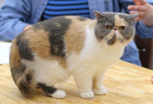 gato-exotico-tricolor