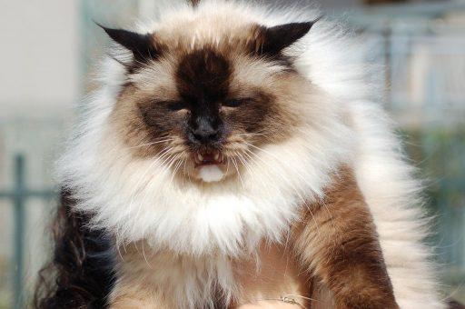 gato-grande-ragdoll
